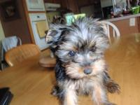 I have one beautiful little teacup Yorkie female left..
