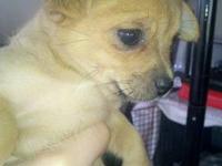 TINY Long Hair Chihuahua. 6 Weeks old. 1st Shot &