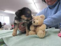 Very small Chorkie puppies family raised handled from