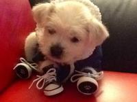 I have a baby male Maltese I'm rehoming due to a move I