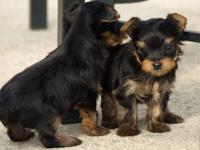 Kimbrays Yorkies has a tiny male AKC puppy ready for