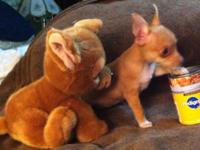 Mommy weighs 5lbs, is Purebred Apple Head Chihuahua and