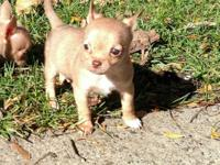 3 tiny male chihuahua puppies Have 1st shots, dewormed
