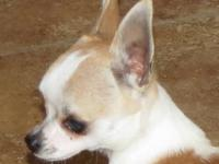 This puppy is a tiny purebred chihuahua. He is going to