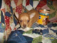 I have a very Tiny Male Chihuahua. His Father(in the