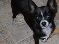 I have a tiny male Chihuahua puppy for sale! He is 5