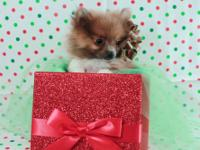 Date of birth: 10/29/12 AKC eligible Pomeranian Male!