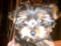 12 weeks old very tiny male yorkie .has first shots vet