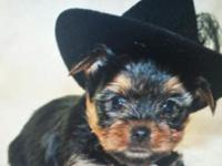 I have precious males yorkie puppies available very