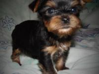 2 male Yorkshire terrier young puppies. they are 5