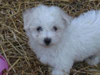 I have a small Maltese/Bichon Frise puppy that is