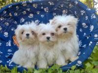 Very Small AKC boys. Their Dad is an AKC Champion, who