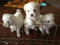 3 Tiny snow White Maltese puppies 2 males and 1 female