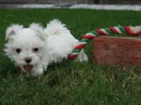Very cute Tiny Maltese puppies. I have 1 male at $750