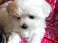 Lilly is a beautiful Maltese Imagine this precious baby
