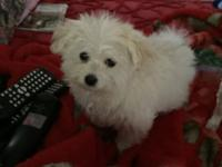 have a 8 week old male maltipom, weighs 2.10 lbs. got