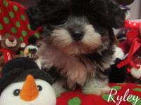 TINY TOY MULTIPOO PUPPIES,OFFERED TO QUALITY PET HOMES