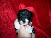 Tiny maltipoo puppies. 1girl and 1boy. Will be