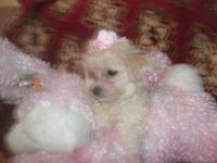 THESE ADORABLE MALTIPOO BABIES ARE NON SHED AND GOOD