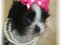 Tiny Millie will come Full AKC. She is a stunning