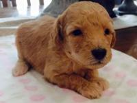 We have one tiny multi-gen male goldendoodle available.