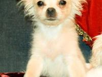 Tiny/Miniature Shorkie, male 2.5 lbs., hypoallergenic,