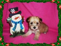 Tiny Morkie Puppies, Maltese / Yorkie. Super cute,