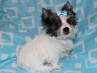 Snow is a handsome parti yorkie terrier male carry for
