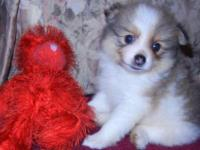 I have 2 beautifull pomeranians, one male and one