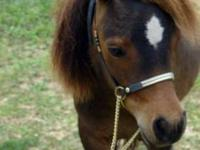 Wybrants Cavalry Contessa Magic is a petite AMHA