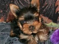 Selling my 9 week old puppy. She is a Pom/Yorkie mix.