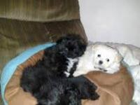 2 tiny male Pomapoo puppies available to put in your