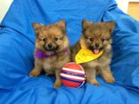 Adorable, tiny Purebred Pomeranian, 9 week old puppies.