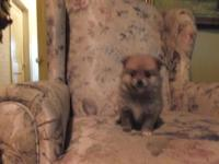 Cute and Fluffy Purebred Registered Pomeranian puppies.