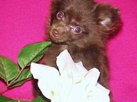 This adorable TINY Pomeranian Girl (CoCo Puff) was born