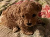 Peaches is a tiny, apricot poodle looking for her