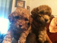 i have 2 poodle puppies both females. they are both