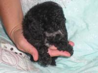 Beautiful Tcup femalePoodle puppy 9weeks old color