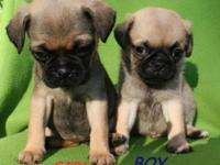Gorgeous Tiny Pug Puppies! One Boy and One Girl! Eight