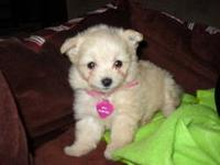 HI, Im looking for a tiny fluffy baby girl. Maltese,