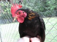 RARE TINY MALAYSIAN SERAMA BANTAM CHICKS FOR SALE 20.