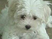 I have a very small Maltese puppy. Reg. CKC male puppy.