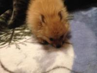 """This is Pixie, a beautiful tiny """"Teacup"""" Pomeranian"""