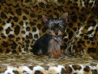 We have 3 female Yorkies born on Oct. 1, 2013 they will