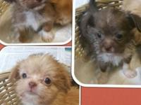 I have 5 little shihtzu/Chihuahua cross babies..they