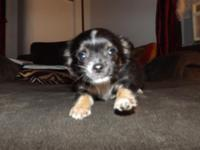 Hello I have a shi chi male puppy who is very spunky