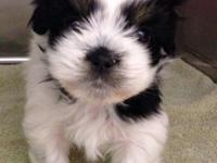 Tiny pure bred blk/white female shih tzu. 1st set