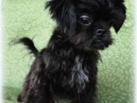 Tiny Shih Tzu Puppies Male's prepared for permanently