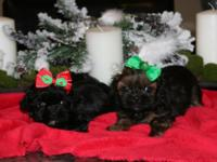 Tiny Shih Tzu puppies, 8 weeks old, rare colors, shots