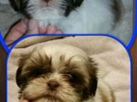 I have 3 little shihtzu babies left! Two ladies and one